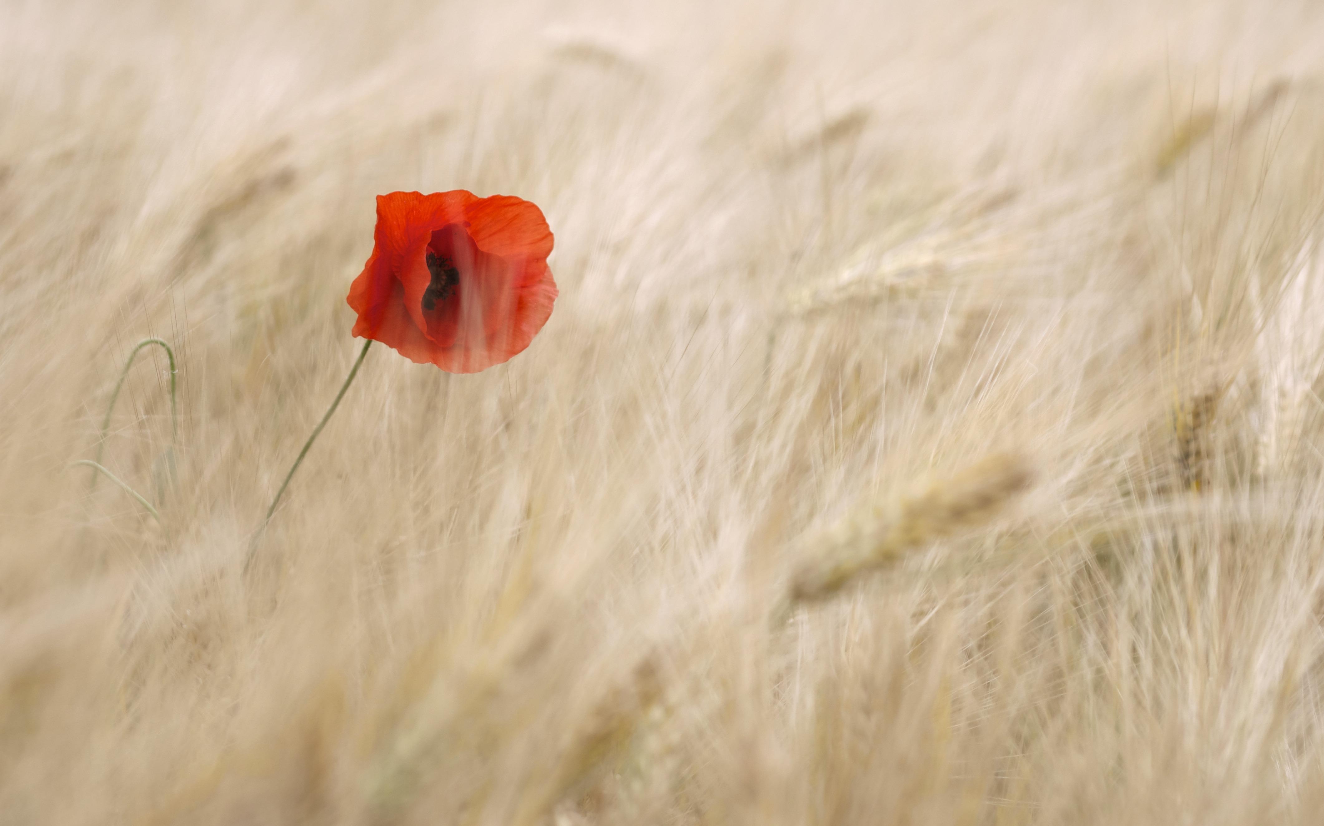 poppy_flower_cereals